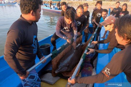 Lumba-lumba hasil sitaan dipindahkan ke Taman Nasional Bali Barat
