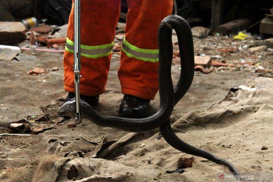 Ular kobra masuk ke permukiman warga di Bekasi