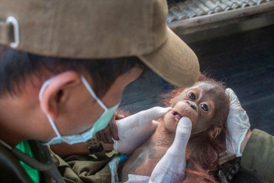 BKSDA Kalbar-IAR evakuasi satu anak orangutan di Ketapang