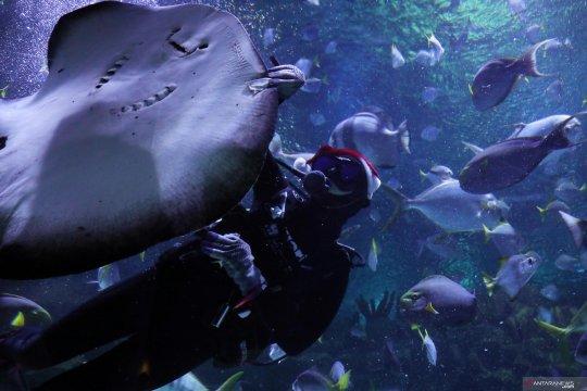 Santa beri makan ikan pari di Aquaria KLCC