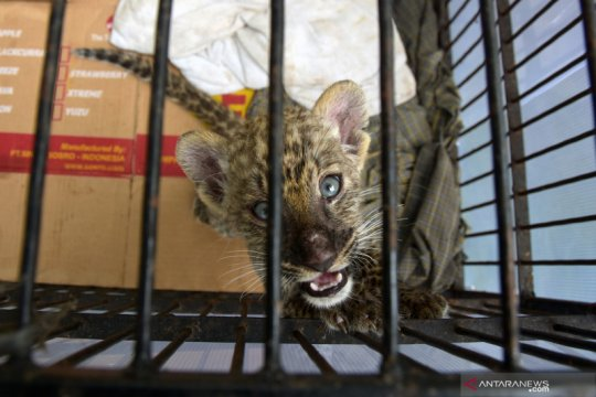 Bayi macan tutul selundupan mati di Kebun Binatang Kasang Kulim