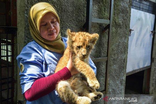 Empat bayi singa korban perdagangan satwa mulai pulih dari stres