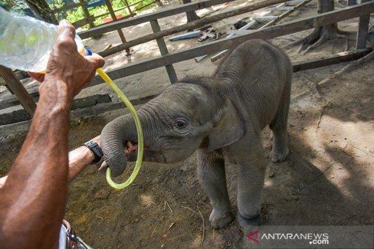 """Bayi gajah """"Puan"""" minum susu dari selang akibat induknya terpisah"""