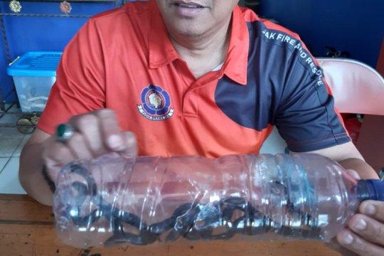 Delapan anak ular kobra ditemukan di Rawa Bambu Jaksel