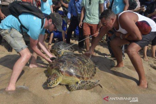 BKSDA Bali lepasliarkan penyu di Pantai Kuta