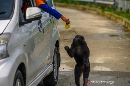 Perubahan perilaku kera hitam Sulawesi