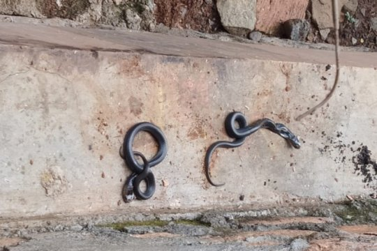 Komunitas : Rutin bersihkan rumah dapat minimalisir masuknya ular