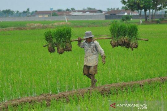Musim kemarau, Kementan turut produksi benih tahan kekeringan