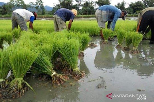 Ratusan hektare sawah di Sulteng teredam banjir, terancam gagal panen