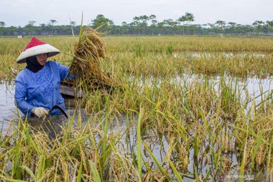 Hampir 5.000 hektare sawah di Karawang terendam banjir