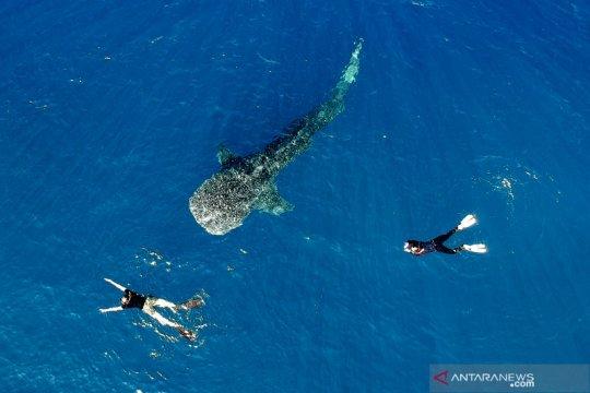 Wisata hiu paus Gorontalo dikunjungi peserta Jelajah Wisata Sulawesi