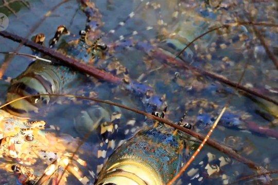 NTB sambut industri sektor kelautan pembudidayaan lobster