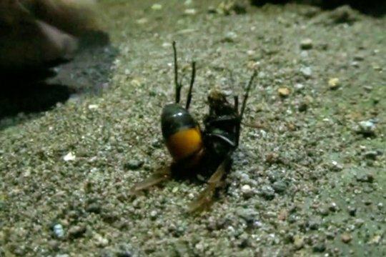 Mengenal Vespa Affinis, tawon penyengat yang mematikan