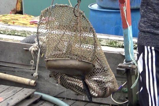 Semakin langka, harga ikan haruan tembus Rp  90 ribu perkilogram