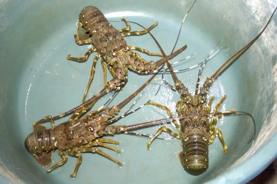 Wapres sebut rencana buka ekspor lobster belum final