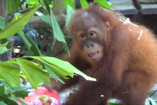 Seremoni perpisahan Bonbon di Bali Safari