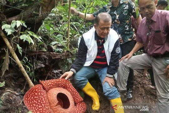 Bunga Rafflesia tuan-mudae terbesar di dunia ditinjau Wagub Sumbar