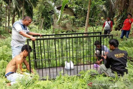 BKSDA Resor Agam pasang perangkap tangkap beruang madu resahkan warga