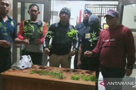 Polisi di Rejang Lebong tangkap dua tersangka penanam ganja
