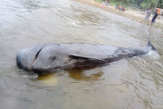 Di Pantai Selatan Gorontalo, seekor paus pilot ditemukan terdampar