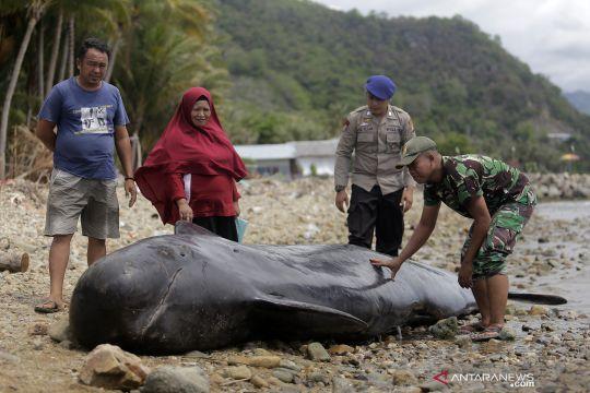 Paus pilot terdampar dan mati di Pantai Selatan Gorontalo
