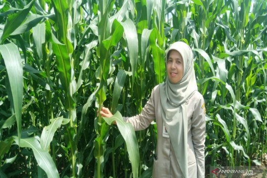 Balittra kenalkan budidaya jagung provitas tinggi di musim hujan