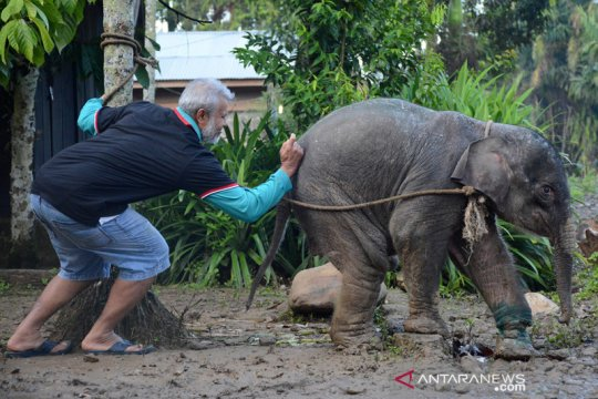 3 gajah jinak halau kawanan gajah liar di Pidie