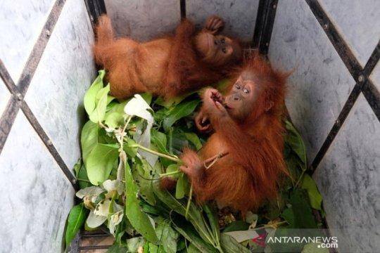 Petugas gabungan sita dua bayi orangutan