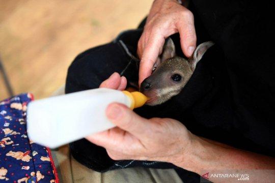 Merawat hewan korban kebakaran hutan di Australia