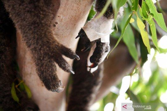WWF sebut tiga miliar satwa terluka akibat kebakaran hutan Australia
