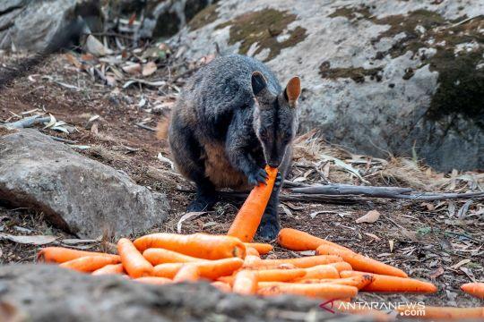 Petugas sebar makanan untuk hewan terdampak kebakaran hutan