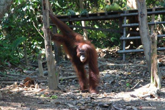 Tiga orangutan dilepasliarkan di Taman Nasional Bukit Baka