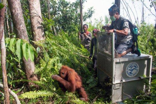 IAR Indonesia: Konflik manusia-orangutan terus bertambah