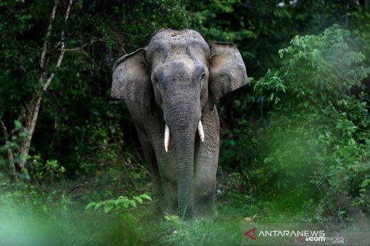 BKSDA buat parit sepanjang 15 km atasi gajah liar di Bener Meriah