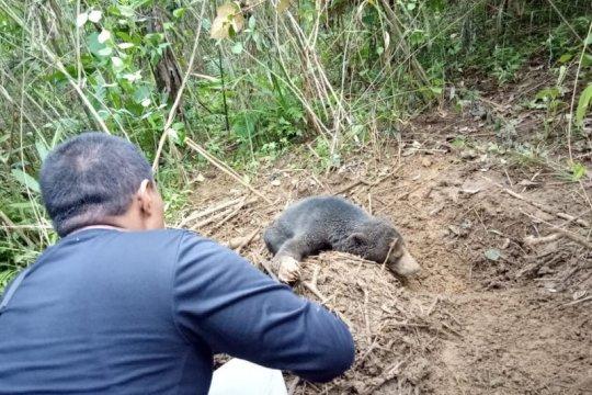 BKSDA Sumbar selamatkan beruang madu di Pasaman Barat