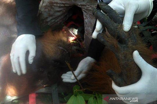 BBKSDA Sumut lepasliarkan Orangutan di hutan lindung Tapanuli Tengah