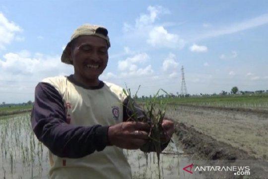 Hama tikus serang 100 hektare lahan padi di Madiun