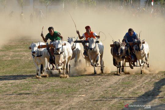 Karapan sapi tradisional di Sigi