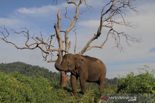 Nasib gajah sumatera yang berkonflik dengan manusia