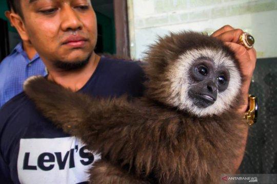 Owa Sumatera diserahkan warga