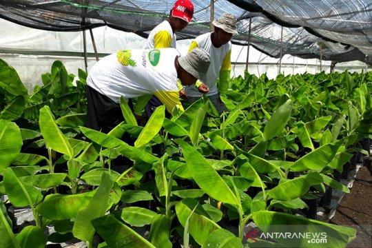 Pemerintah bidik peluang ekspor pisang cavendish Jembrana