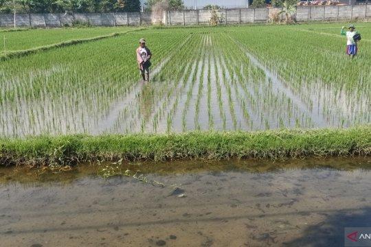 NTB targetkan produksi padi 2,6 juta ton