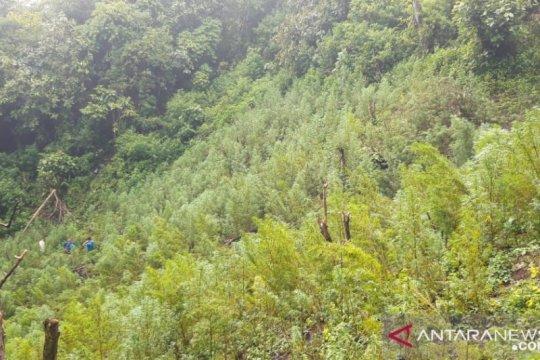 Polisi temukan lima hektar ladang ganja di Sumatera