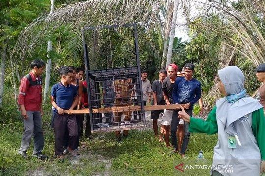 Anak beruang madu terjerat diselamatkan BBKSDA Riau dan polisi
