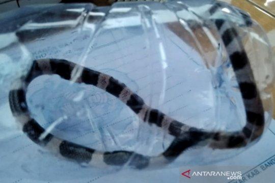 Peneliti: Bisa ular weling lebih mematikan dibanding kobra