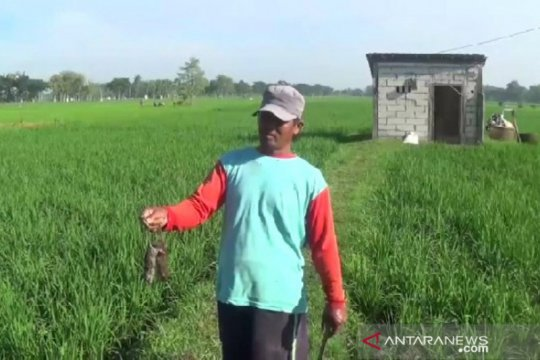 Hama tikus serang 455 hektare sawah di Kabupaten Magetan