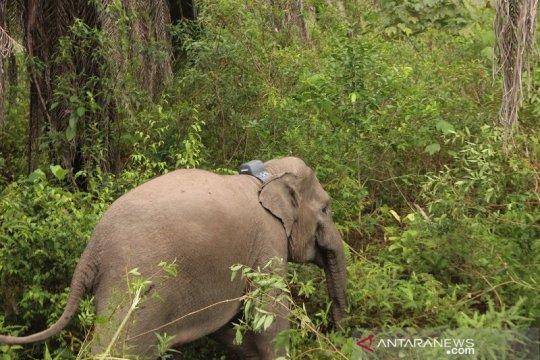 KLHK pantau pergerakan gajah di TNBBS untuk mitigasi konflik