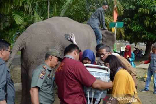 Gajah sumatera di TWA Buluh Cina bunting untuk pertama kali