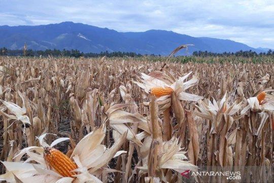 Panen jagung simbol pemulihan ekonomi petani di Sigi
