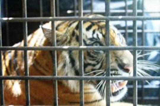 Aktivis lingkungan dukung Polda Riau usut sindikat perdagangan harimau